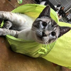 Thunder Siamese Cat
