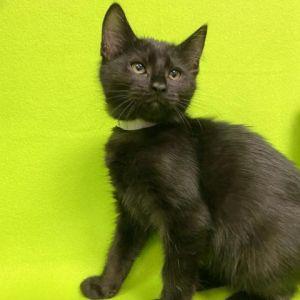 Playstation Domestic Short Hair Cat