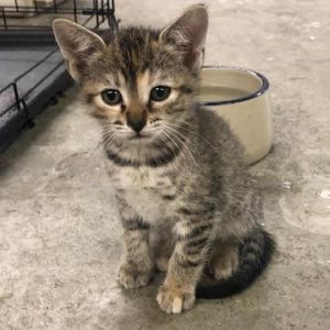 Cosmo Domestic Short Hair Cat