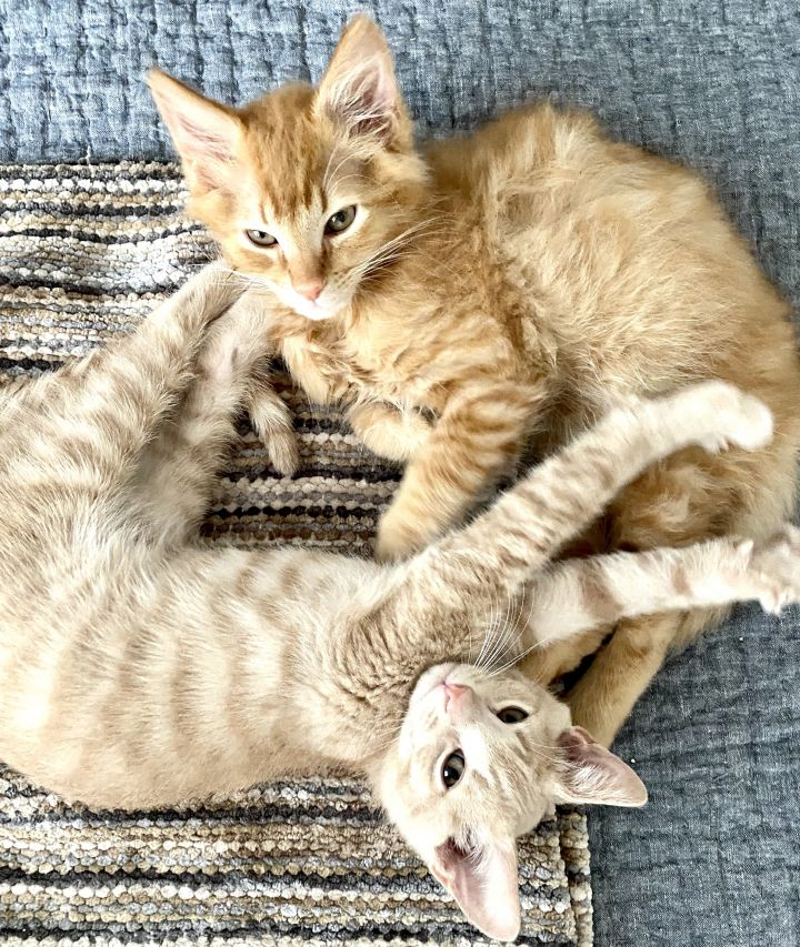 Moishe & Abe (bonded), an adopted Tabby in Los Angeles, CA