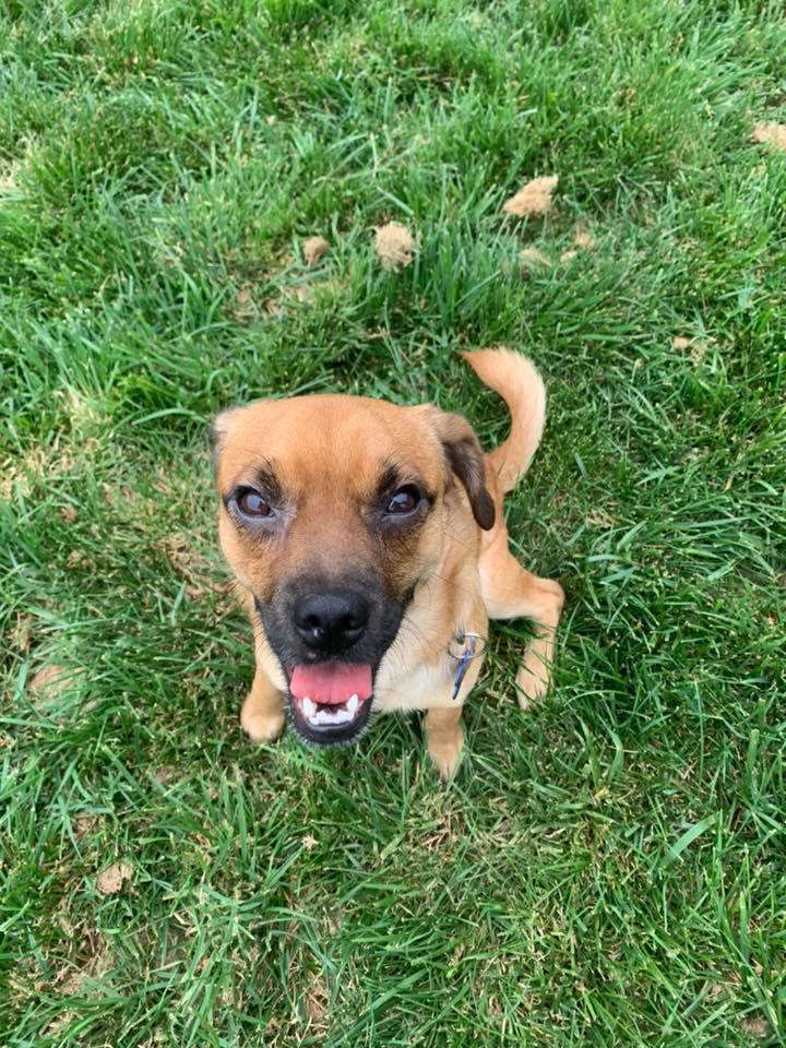 Scrappy Doo, an adopted Puggle Mix in Springfield, MO