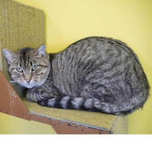 Bartle is a male brown tabby He came to Buddy when is human passed away and he