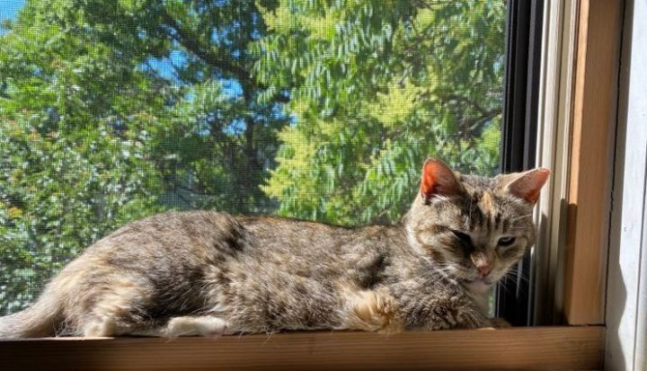 Melissa, an adoptable Domestic Short Hair & Tabby Mix in South Ozone Park, NY