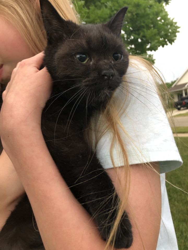 Ming, an adopted Domestic Short Hair & Siamese Mix in Eaton Rapids, MI
