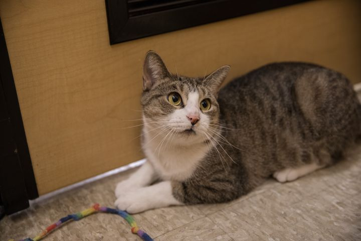 Martini, an adoptable Domestic Short Hair in Sewell, NJ
