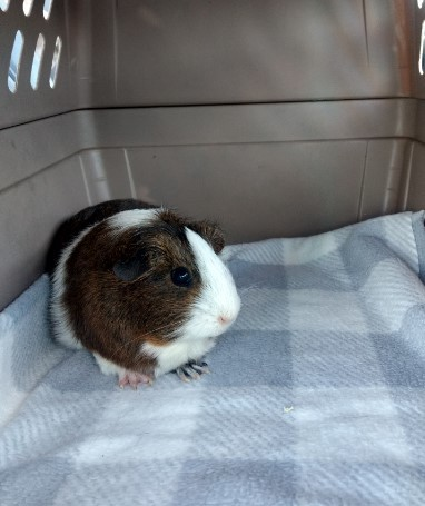 Vanellope Von Schweets, an adoptable Guinea Pig in Saint Paul, MN