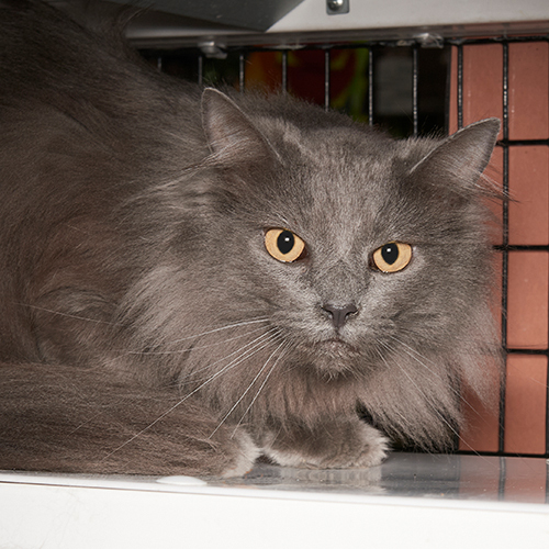 Jade, an adopted Domestic Medium Hair in Bellevue, TN