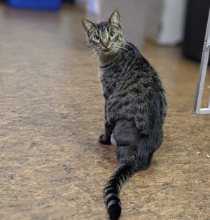Matt Domestic Short Hair Cat