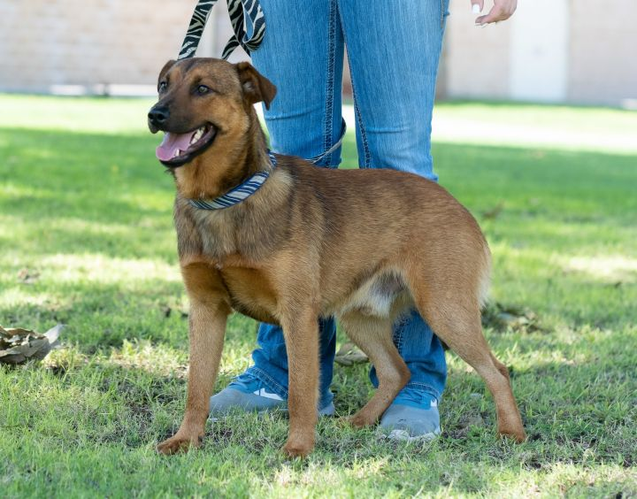 Benson, an adopted Retriever & German Shepherd Dog Mix in Uvalde, TX