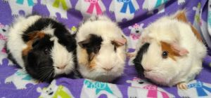 Meet Kukla Fran and Ollie These are 3 sweet girls who were dumped outside a pe