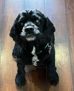 Hi Im Delrey an all-black male Cocker Spaniel with an estimated birthday of March 2012 I was an