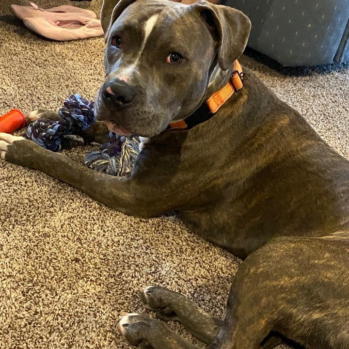 Jackson, an adopted Pit Bull Terrier Mix in Lacey, WA