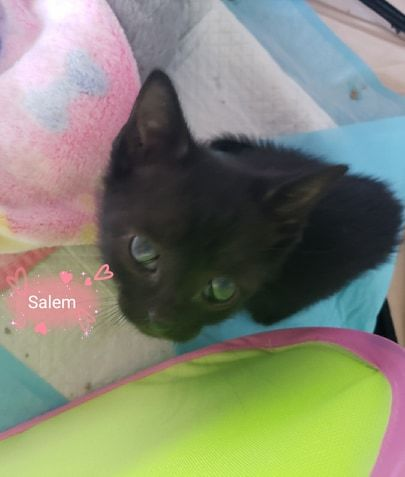 Salem, an adopted Domestic Short Hair in Fredericksburg, VA