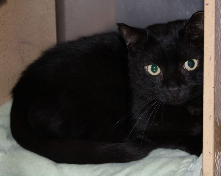 DeDe, an adoptable Domestic Short Hair in Cincinnati, OH