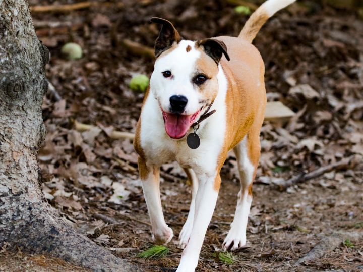 Lola, an adopted Boxer & Parson Russell Terrier Mix in Madison, WI