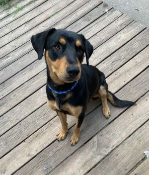 Hi there My name is Dougie I am 10-11 months old and I weigh 45 pounds I was found crossing