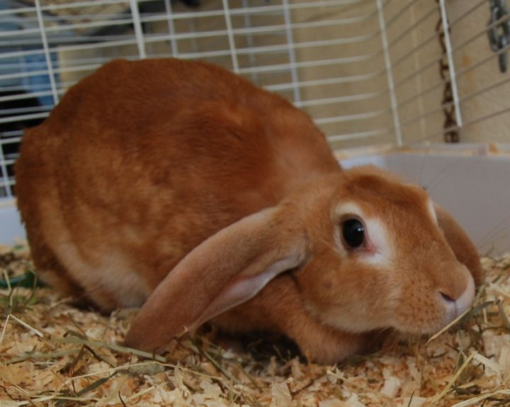 Lilly, an adopted French Lop in Mississauga, ON