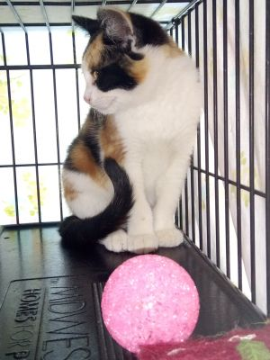 Stella is a beautiful calico kitten She was previously a community cat and fearful of humans She