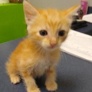 Timmy Domestic Short Hair Cat
