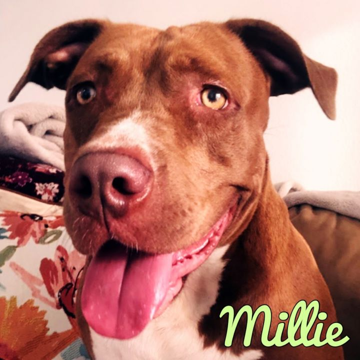 Millie, an adopted Pit Bull Terrier Mix in PORTLAND, OR