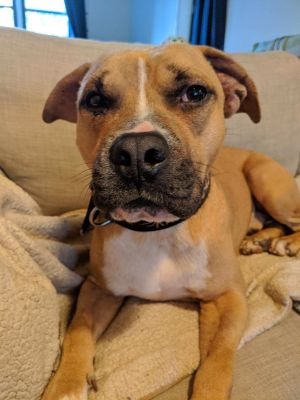 Meet Braydon He is a 3-4 year old mixed breed -- we are thinking maybe boxerpitshepherd -- who is