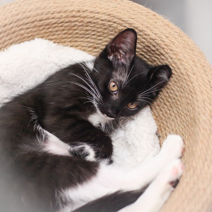 Zoelle, an adopted Domestic Short Hair in Ponte Vedra, FL