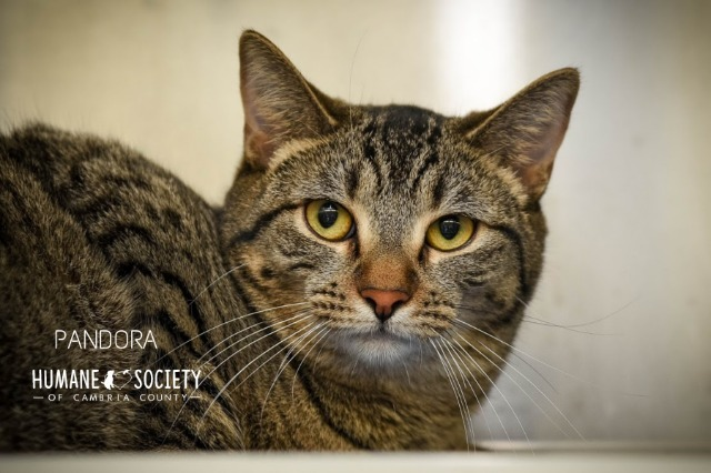 Pandora, an adoptable Domestic Short Hair in Johnstown, PA