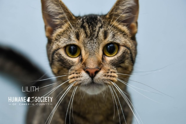 Lilith, an adoptable Domestic Short Hair in Johnstown, PA