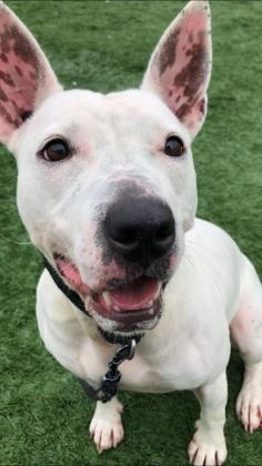 Taffy, an adoptable Bull Terrier Mix in Clarks Summit, PA