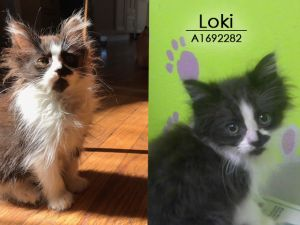 Tiny but mighty Loki is in foster care Email BARCFosterhoustontxgov to meet