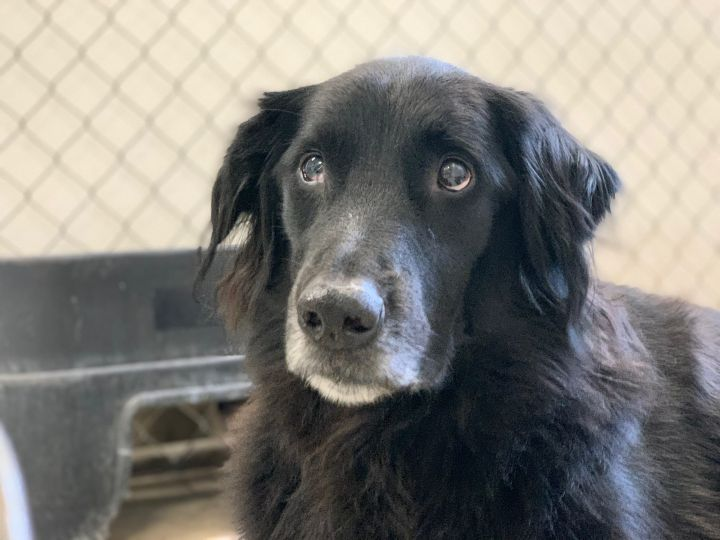 Rigsby, an adoptable Flat-Coated Retriever in Saint Louis, MO