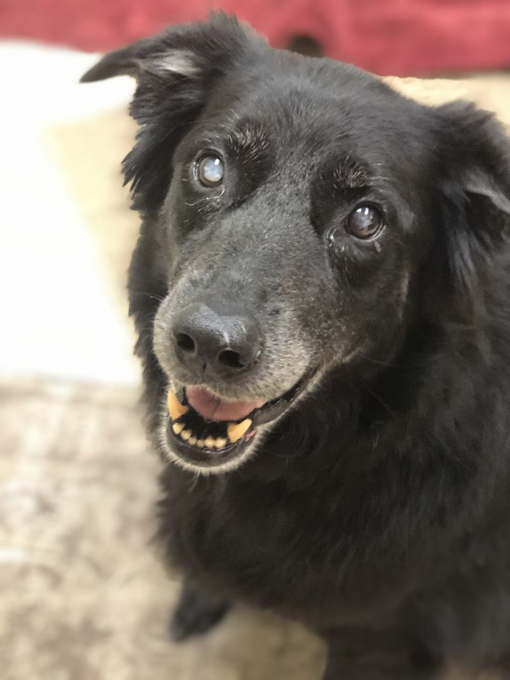 Kahlua, an adoptable Flat-Coated Retriever in Saint Louis, MO
