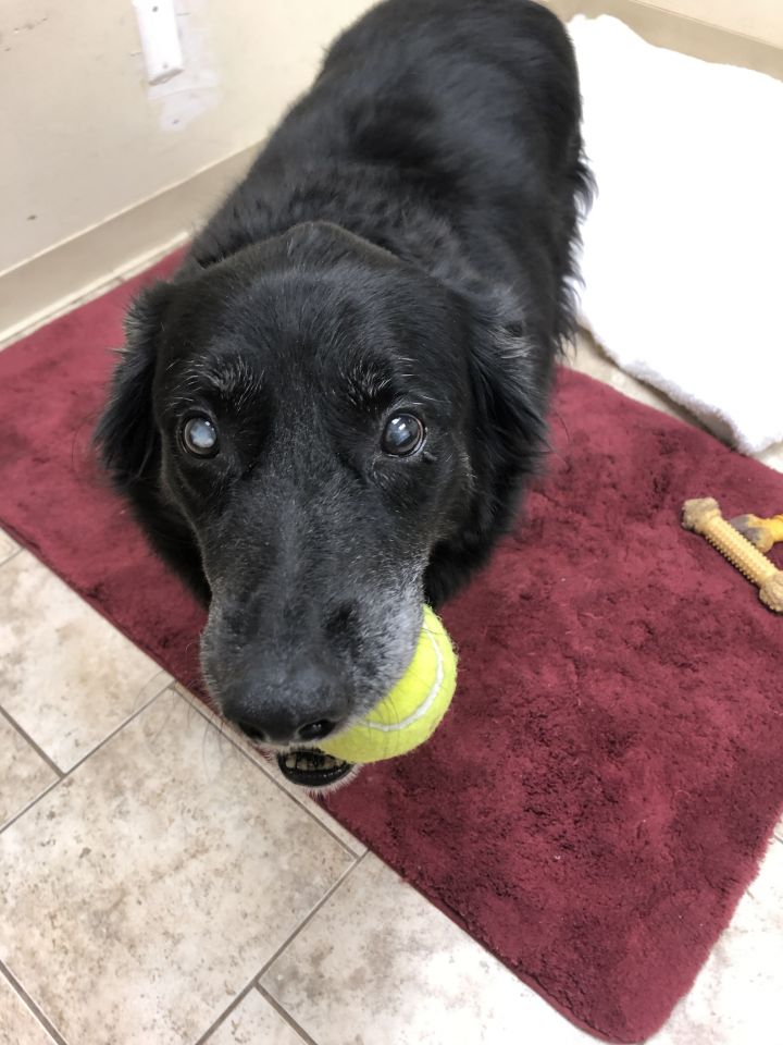 Kahlua, an adoptable Golden Retriever in Saint Louis, MO