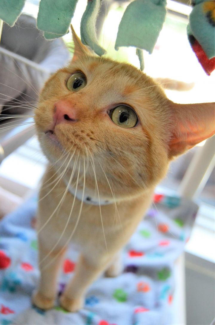 Lion, an adopted Domestic Short Hair in Michigan City, IN