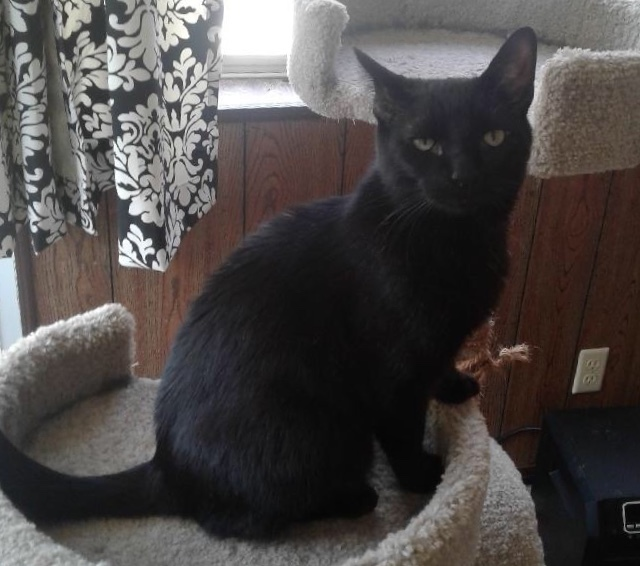 Harley, an adopted Domestic Short Hair in Louisville, KY