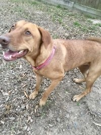 Honey is a 2-year-old hound retriever mix Shes a sweetie who loves people and