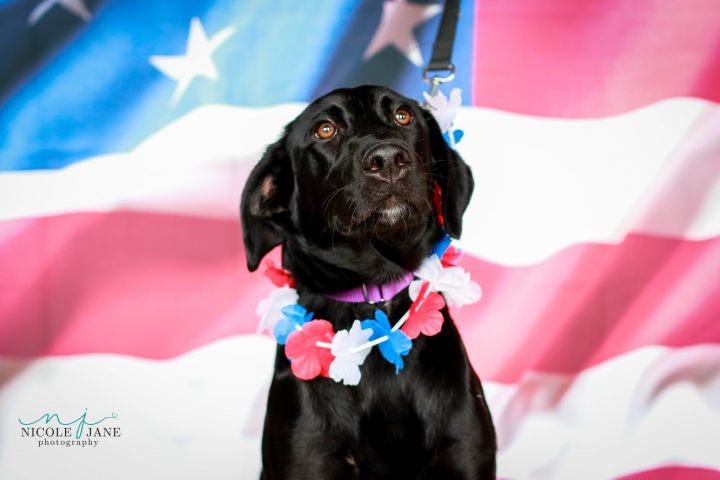 Mary Jo, an adopted Labrador Retriever Mix in Springfield, MO_image-1