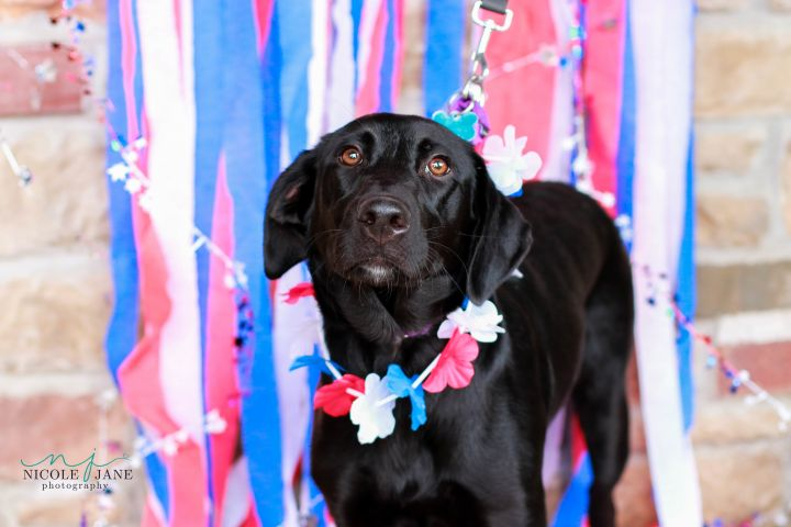 Mary Jo, an adopted Labrador Retriever Mix in Springfield, MO_image-4