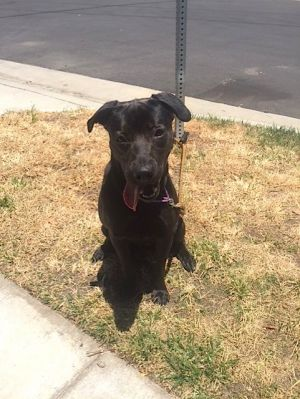 Darby is a two year old Chocolate Labrador RetrieverStaffordshire terrier mix l
