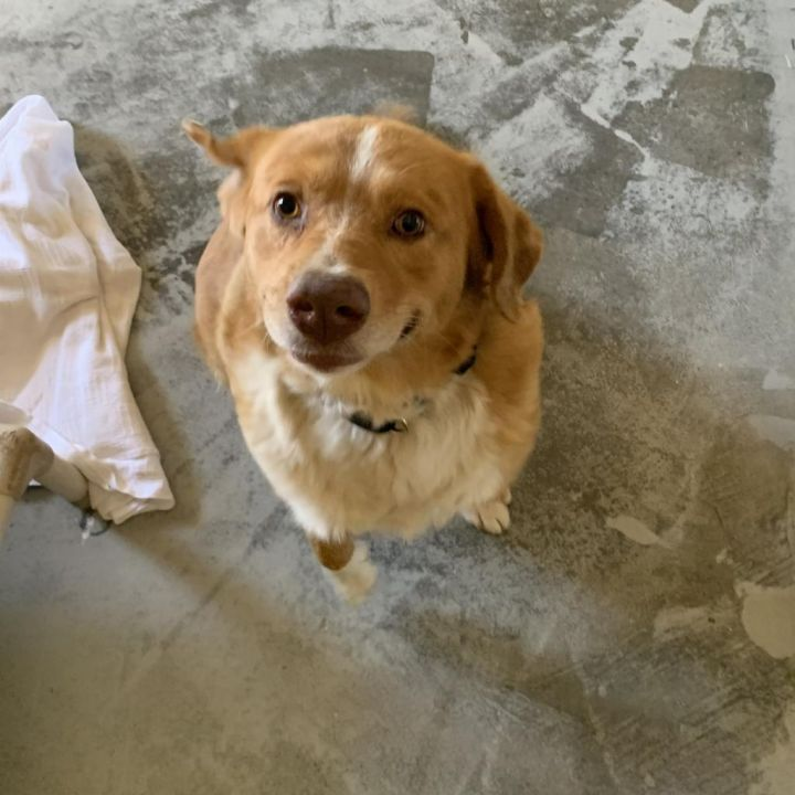 Galileo, an adopted Golden Retriever & Labrador Retriever Mix in Carencro, LA