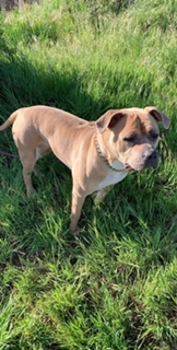 CHELSEA, an adopted Pit Bull Terrier & Mastiff Mix in Vallejo, CA
