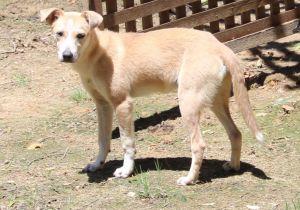 Ginger Labrador Retriever Dog