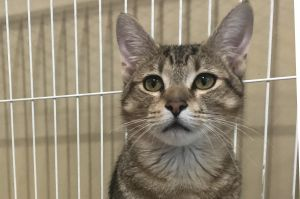 Meet Denim This darling 10 month old male kitten was rescued from a local anima