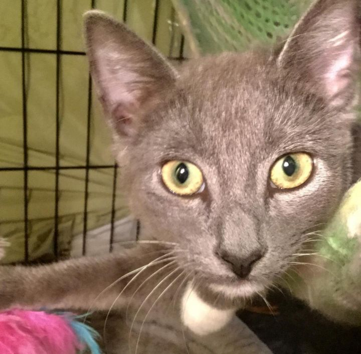 Siva, an adopted Domestic Short Hair in South Ozone Park, NY