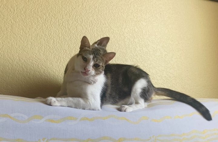 Trixie, an adoptable Tabby & American Shorthair Mix in Mission Viejo, CA