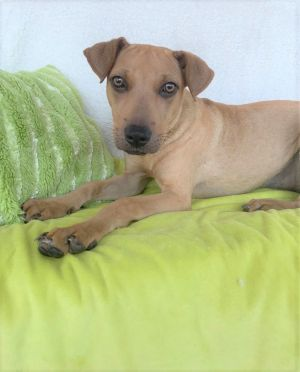 Cassie is a sweet gorgeous girl of just 10 months old and 26 pounds Found as a stray she holds
