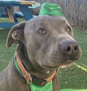 Smokey is a 4 year old American Pit Bull Terrier that came to us from a homeless situation very ner