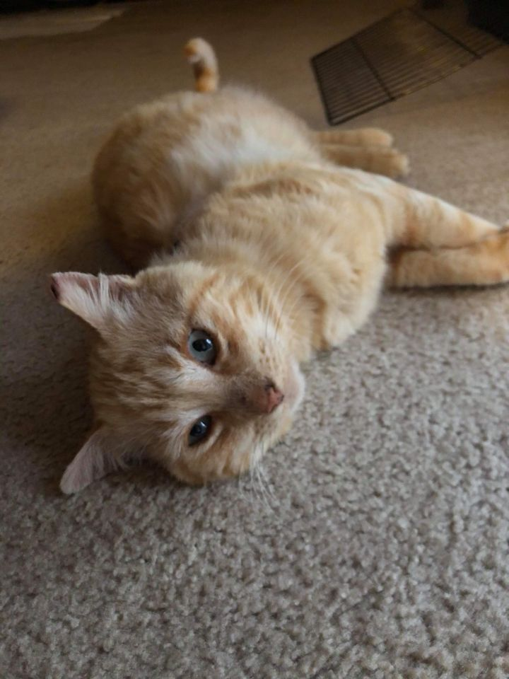Stanley, an adopted Tabby in Benicia, CA