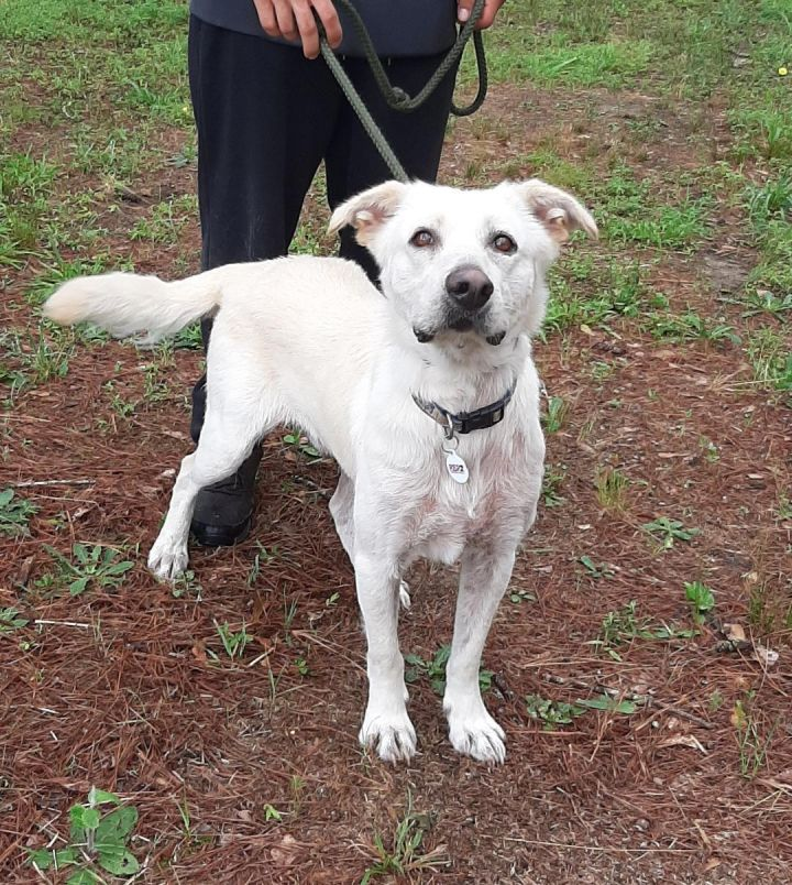 Gimlet, an adoptable Border Collie Mix in Clayton, NC