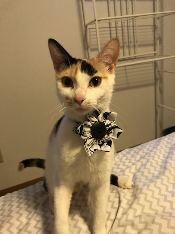 Cicely, an adopted Domestic Short Hair in Madison, WI